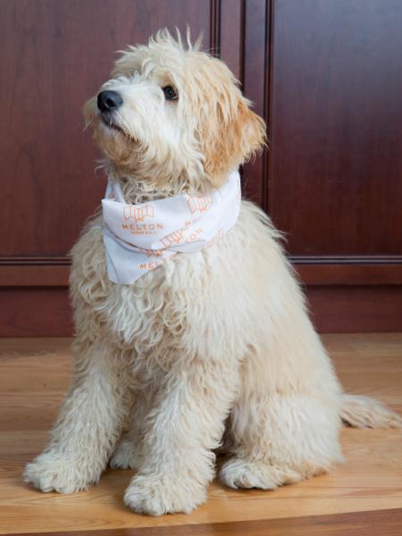 Hazel - Melton DB - Shop Dog